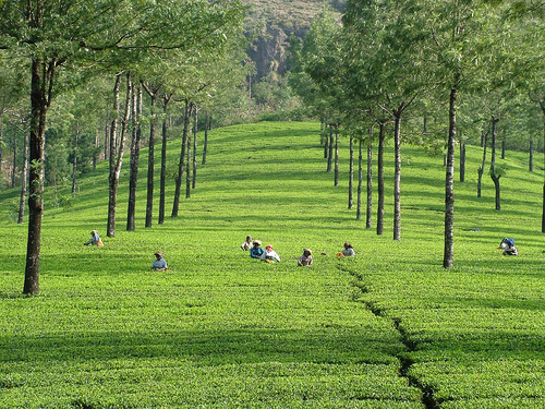 tea-plantation-in-munnar