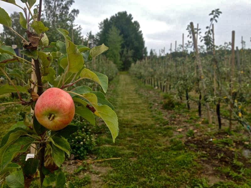 Rekordår för svenska äpplen